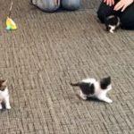 """子猫が""""警察猫""""に採用される。ミシガン州トロイ警察署"""